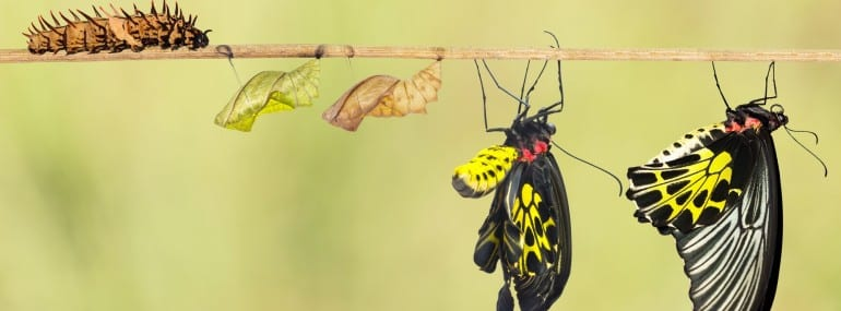 evolution of caterpillar into a butterfly